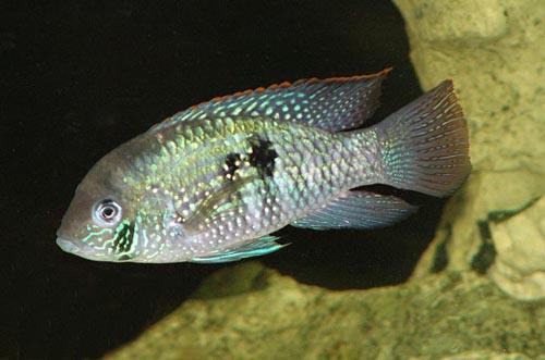 Shamudra Bilash: Cichlid Fish