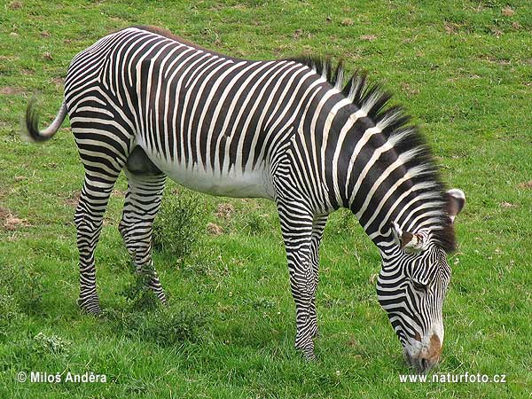 Compared with other zebras it is tall has large ears and its stripes are