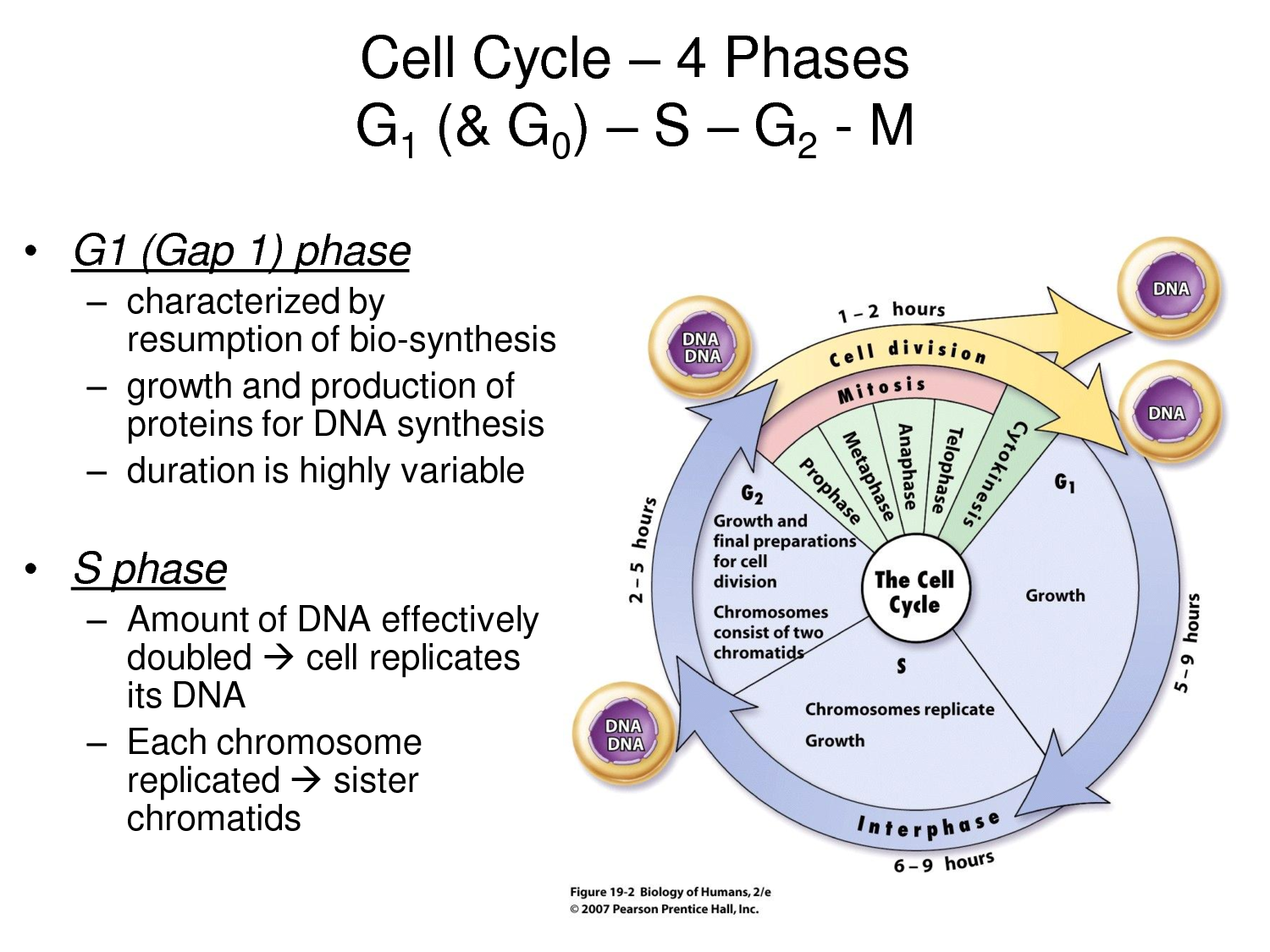 the phases of the cell cycle of humans
