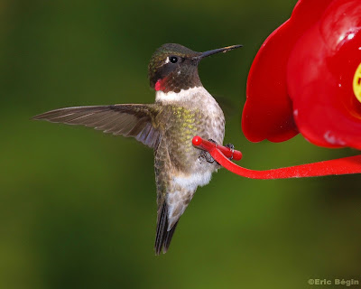 hummingbird photography tips