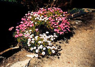 Flors vermelles i blanques (M. Roser Algué Vendrells)