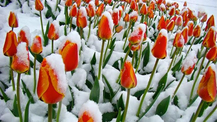 hinh anh hoa tulip