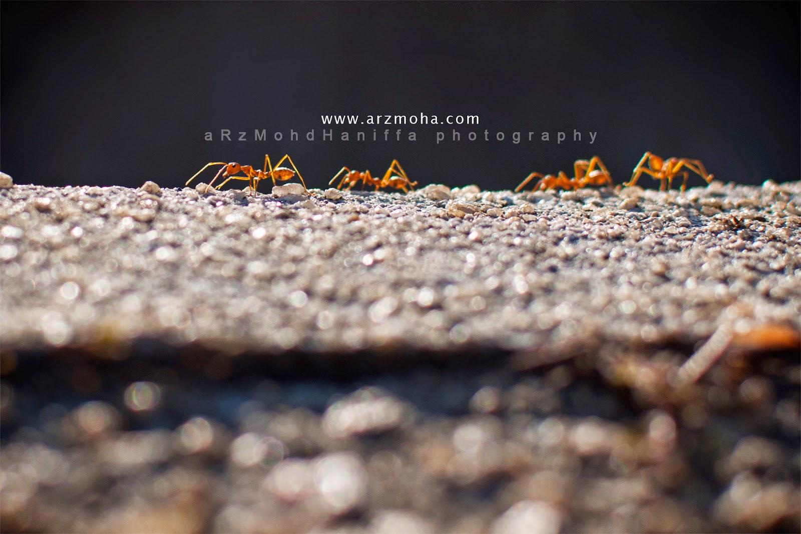 Sifat semut, arzmoha.com, gambar cantik, Bekerjasama, berkumpulan