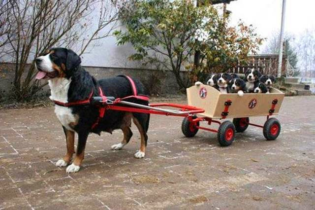Dog pulls cart filled with puppies