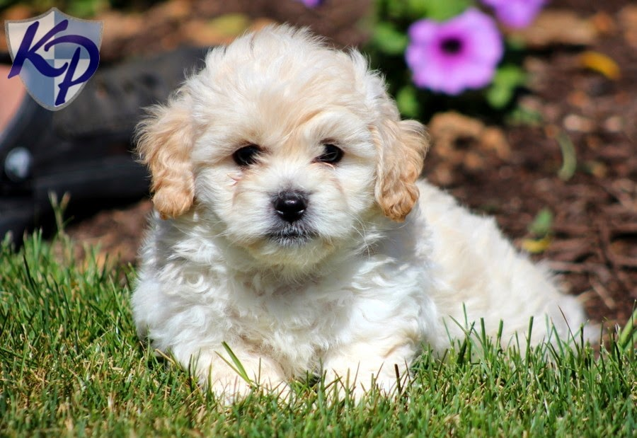Rules Of The Jungle Shichon Puppies