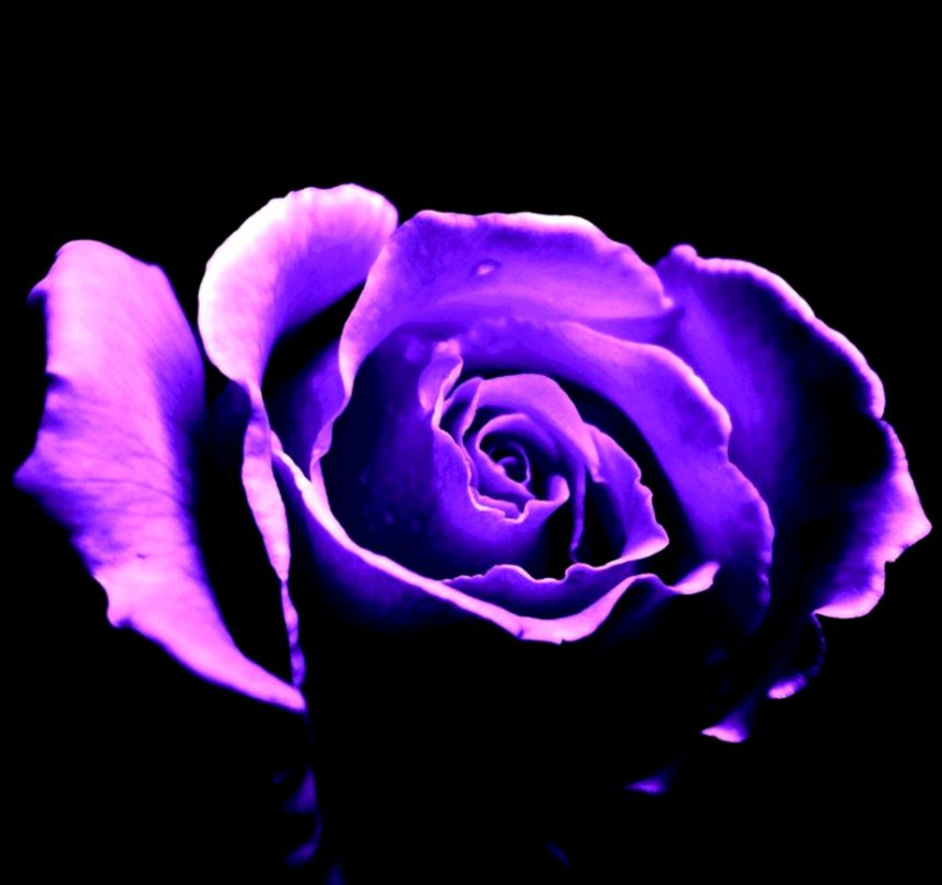 Purple Rose Backgrounds   Wallpaper Cave