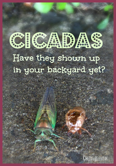 cicada just emerged from final skin