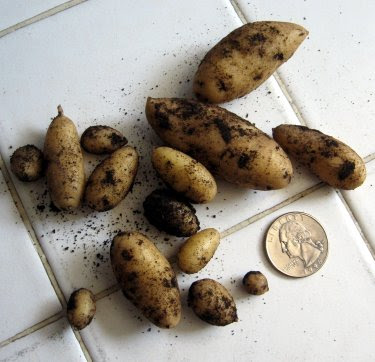 homegrown fingerling potatoes