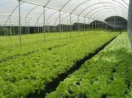 hidroponicos cultivo