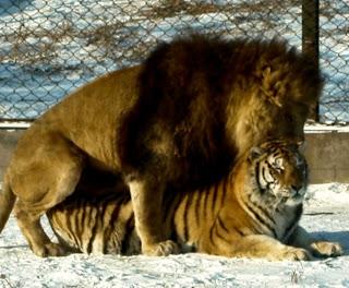 http://3.bp.blogspot.com/-edhiJom1kvQ/UW7iBABoh2I/AAAAAAAAATI/G8r9A6gu_0w/s320/asiatic-lion-tiger-mate-liger.jpg