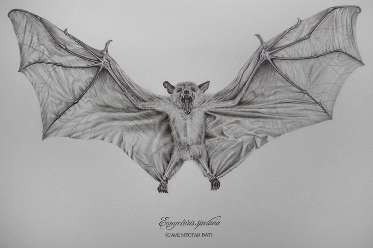 Scientific bat drawing for How to draw a small bat