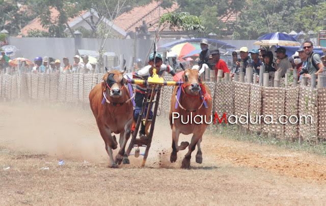 Kerapan Sapi Madura Tingkat Kabupaten Bangkalan 2015