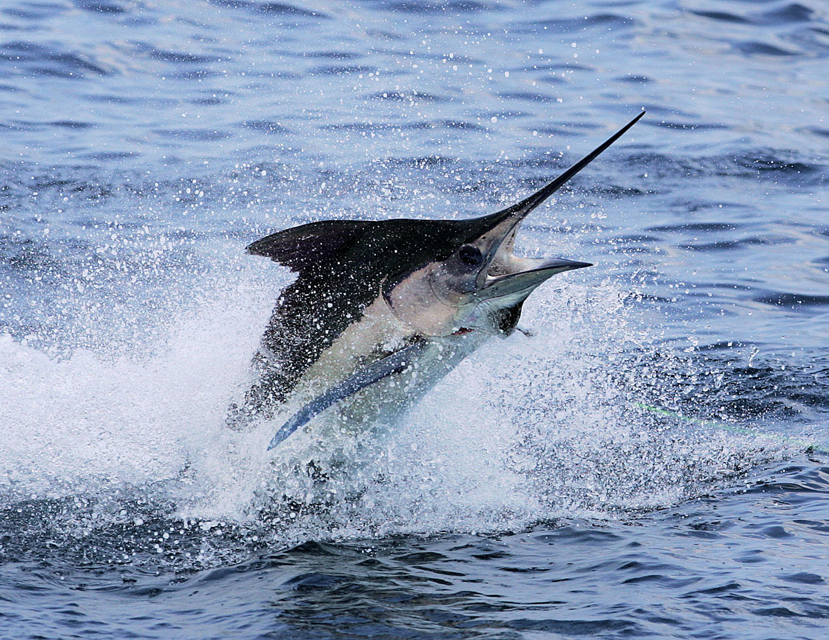 Marlin vs swordfish - photo#15