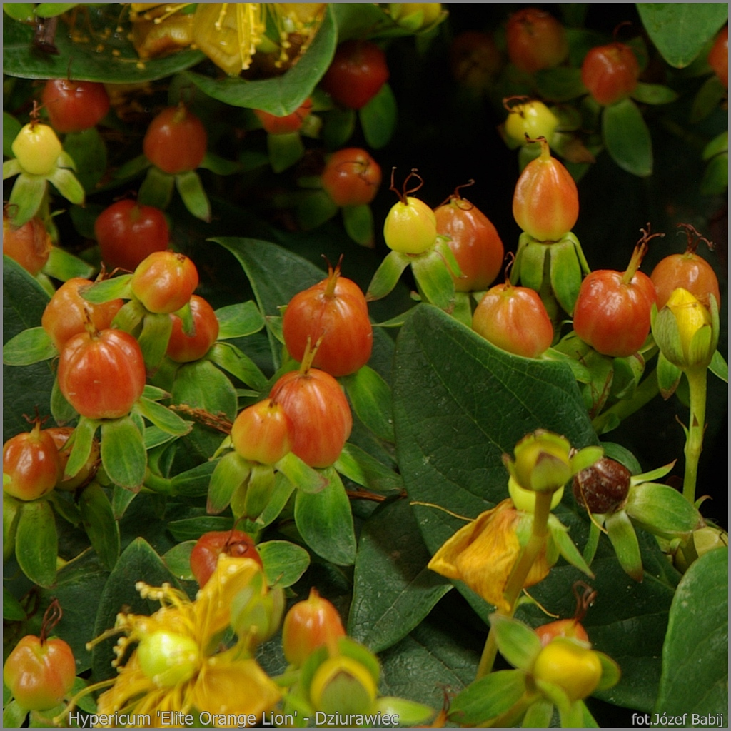 Hypericum 'Elite Orange Lion' - Dziurawiec 'Elite Orange Lion' owoce
