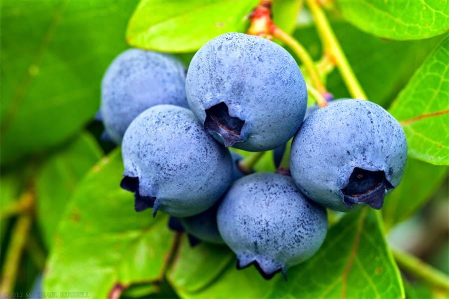 Manfaat Dan Fungsi Blueberry Untuk Kesehatan