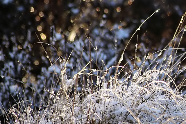 Snow on winter moorland grasses, in sunshine.
