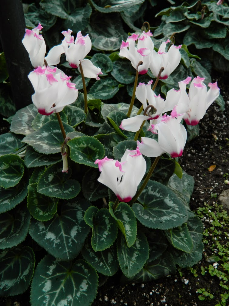 Pink tipped frilly white cyclamen Allan Gardens Conservatory Christmas Flower Show 2014 by garden muses-not another Toronto gardening blog