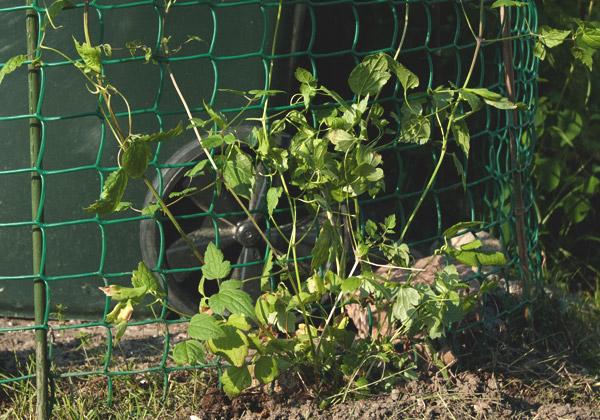 Alpklematis som klättrar på ett grönt nät framför en soptunna