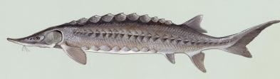 nesli tükenen mersin balığı ile ilgili görsel sonucu