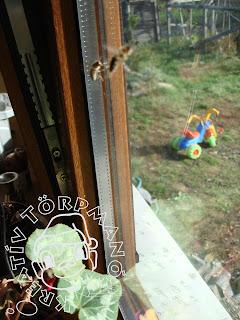 Szöveg: Először csak az erős zümmögésre figyeltem fel, de aztán láttam tíz kemény, harcrakész méhet. Ki gondolta volna, hogy október közepén még aktívak ezek az állatkák, ráadásul szagot is fognak??! Kép: udvarra nyíló ablak belső oldalán két megtermett méh repdes.