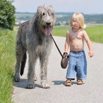 Irish Wolfhound, Picture Of Array : The Wonders Of Doing  A Ten Year Old Irish Wolfhound Named Belker: The Wonders of Doing  A ten year old Irish Wolfhound named Belker