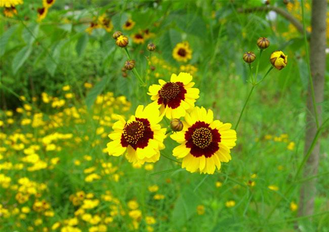 Coreopsis Tinctoria Flowers