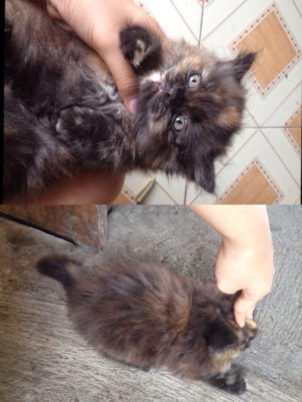 Jual Kucing Warna Hitam Orange Betina di Surakarta