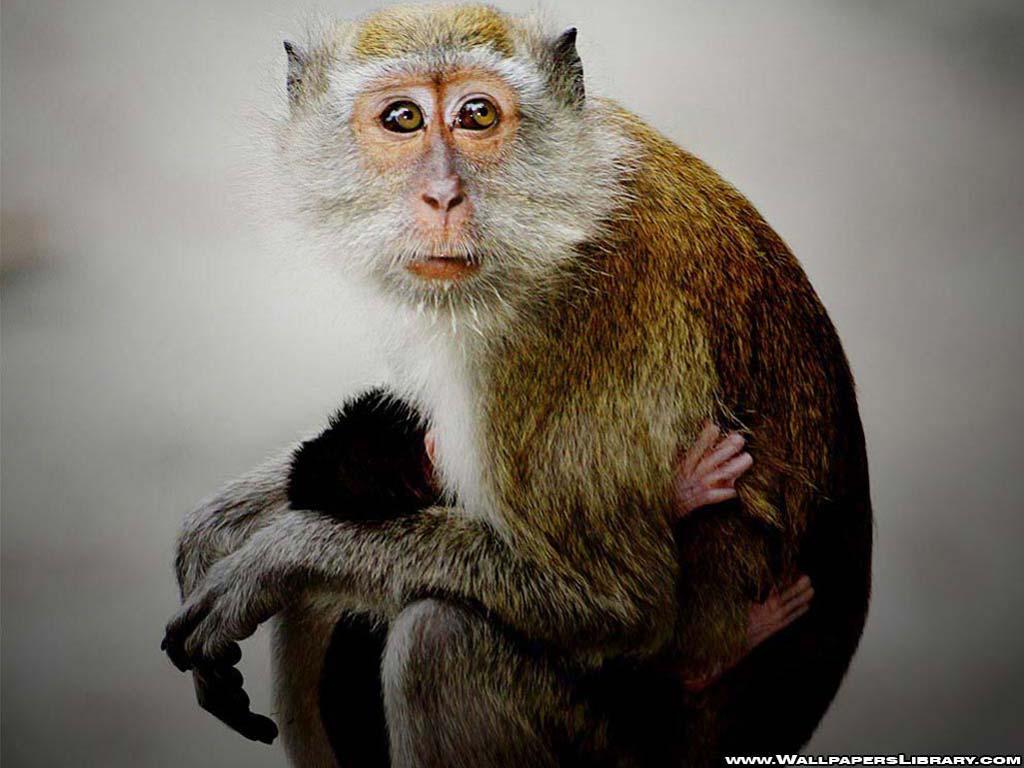 Desktop Nature Wallpaper Baby Monkey Wallpapers Funny