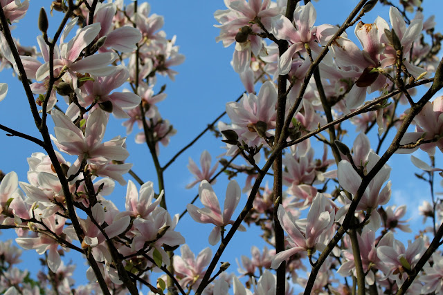 Magnolie im Stadtpark