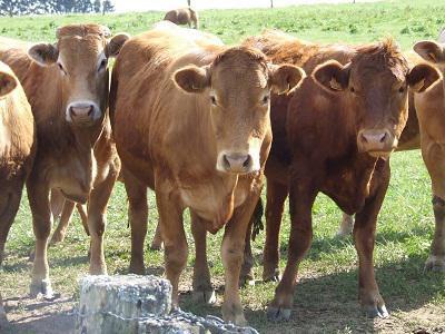 gambar sapi potong