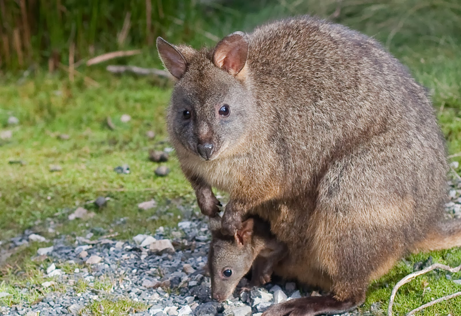Pademelon Animals Amazing Facts & Amp Latest Pictures