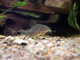 mitch 39 s aquarium blog shrimp an alternative to bottom