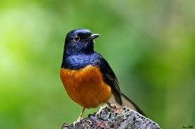 Mendulang Rupiah Dari Merdunya Kicau Si Burung Murai