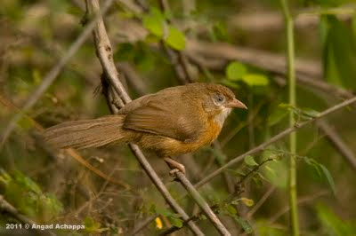 tawny bellied babbler or tawny-bellied babbler
