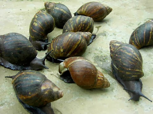 Snails Farm Snail Farming Business And