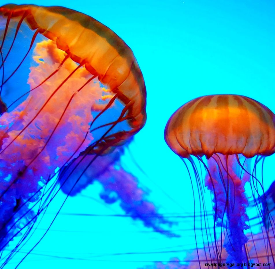 colorful jellyfish wallpaper hd wallpapers gallery
