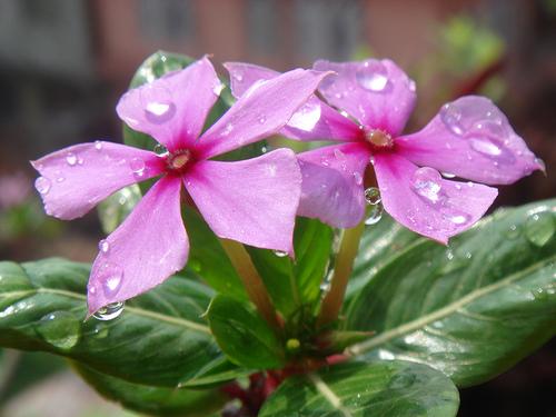 Dew Flowers Flowers
