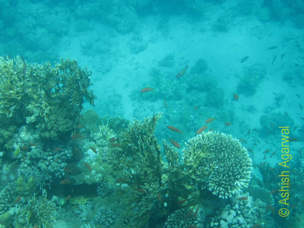 Different forms of coral reefs along with small colorful fish in the Ras Muhammad marine park in the Red Sea