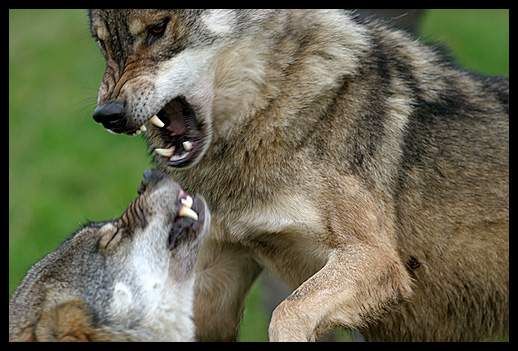 View topic - fighting wolves - Chicken Smoothie