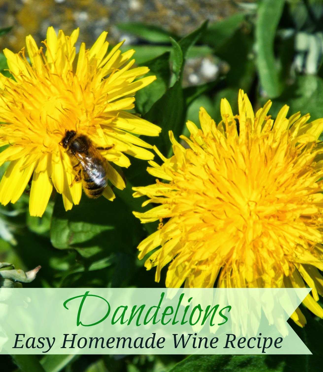 Easy Dandelion Flower Wine Recipe
