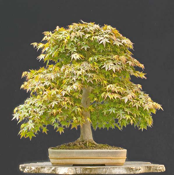 walter pall bonsai adventures january 2012. Black Bedroom Furniture Sets. Home Design Ideas