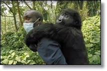 Picture of small gorilla on man's back
