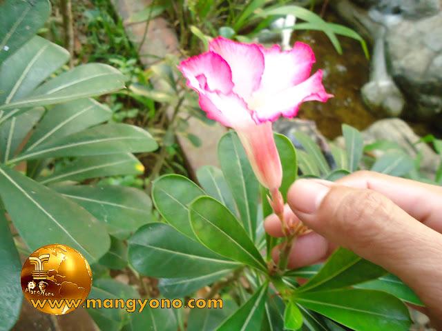 FOTO : Bunga Kamboja Jepang ( Adenium ) di halaman Rumah admin.