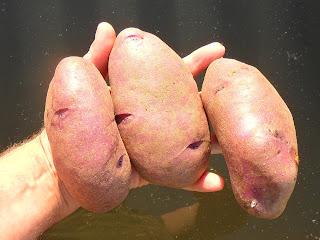 vkusniogorod – картофель Кубинка