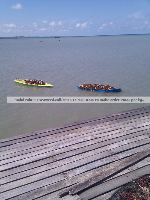 Khasiat Rumpai Laut Sabah Rumpai Laut Kering Sabah