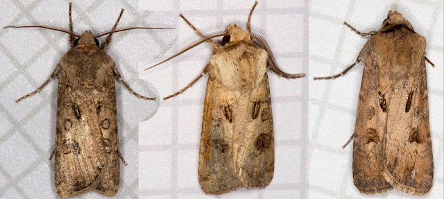 Three moths. Turnip Moth, Agrotis segetum; Heart and Dart, Agrotis exclamationis; Heart and Club, Agrotis clavis.