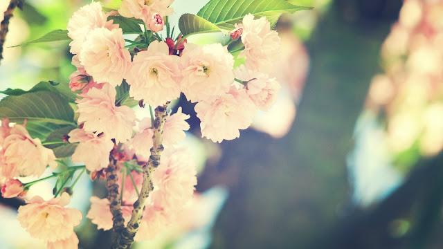Hình nền hoa xuân