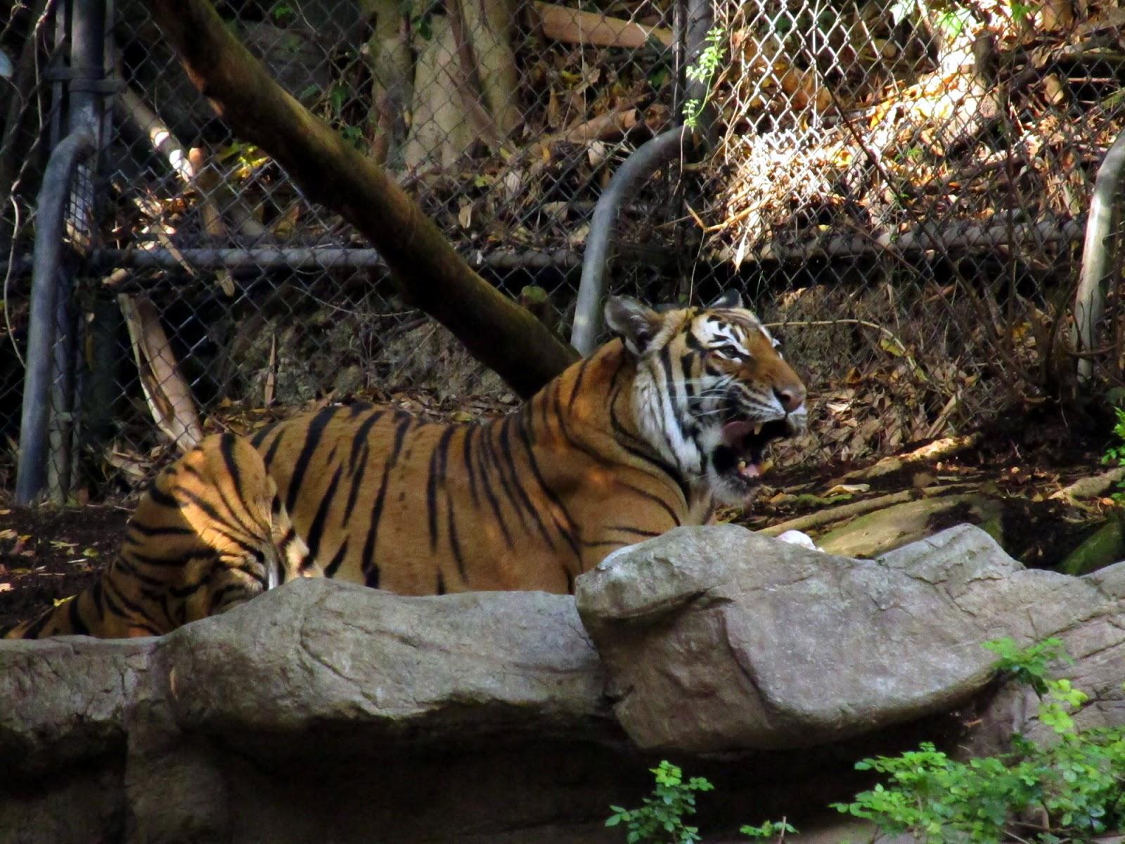 Tag Archives  Panda Trek Susan Shain Columbian Brown Spider Monkey   San Diego Zoo