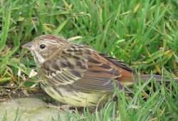 CHESTNUT BUNTING-PAPA WESTRAY-ORKNEY-26TH OCT 2015