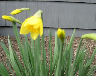 daffodils mid bloom
